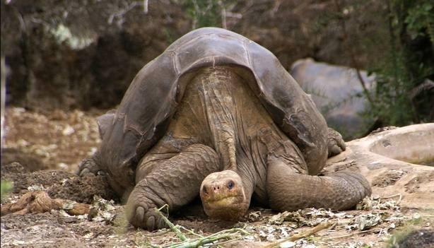 Investigadores españoles dan con las claves genéticas de la longevidad en tortugas gigantes