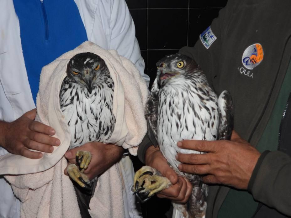 España y Bulgaria colaboran en favor del águila de Bonelli