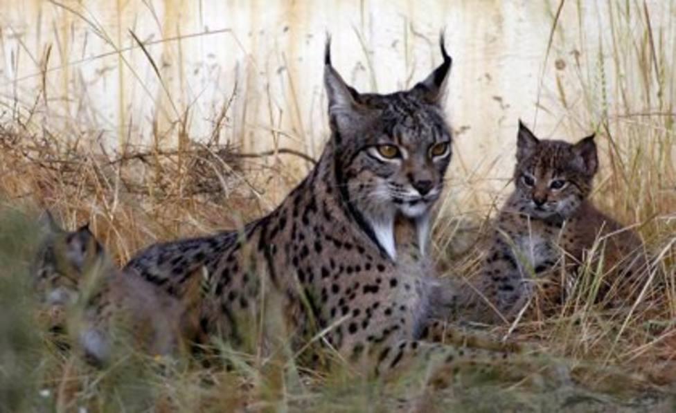 WWF felicita a Junta y resto de socios del Life Lynx Connect de protección del lince por superar el examen de la UE
