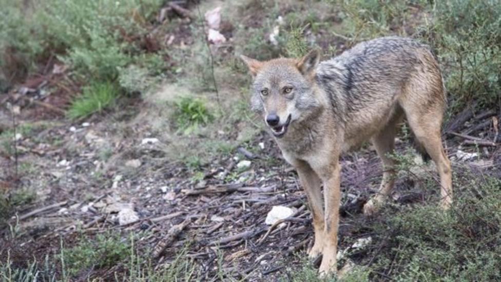 Castilla y León contra el blindaje al lobo