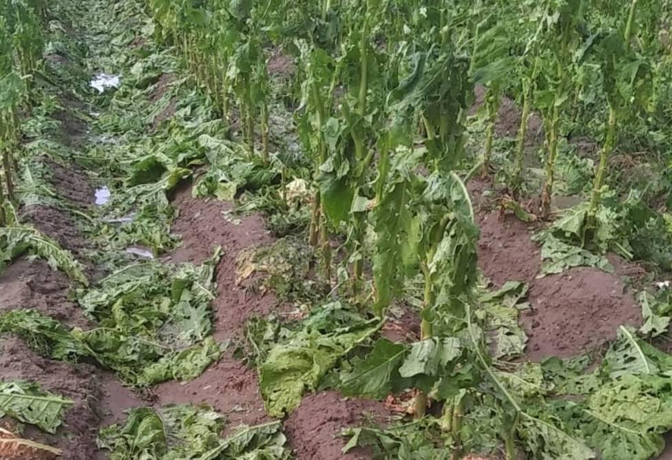 Daños del granizo y el viento en el tabaco del norte de Extremadura. Foto: ASAJA