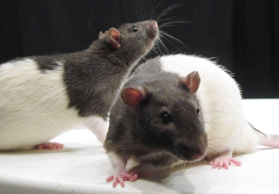 Las ratas, como los humanos, olvidan recuerdos de forma selectiva, según una investigación