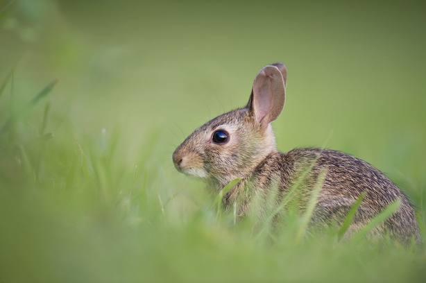Las plagas de conejos suponen unas pérdidas de 3 millones de euros para los agricultores de Burgos.