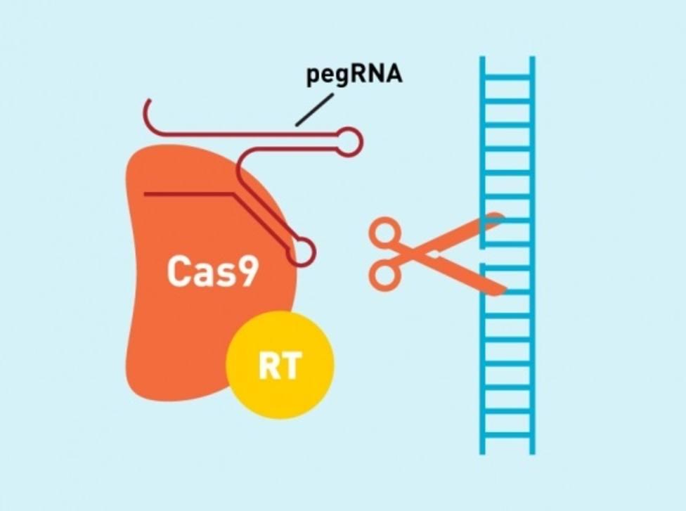 Una nueva técnica de edición del ADN podría corregir hasta el 89% de las alteraciones que causan enfermedades