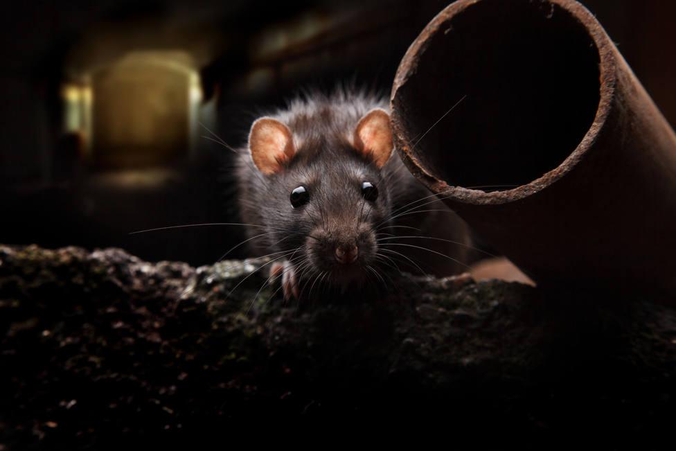 En muchas ciudades, las ratas se están matando entre ellas para sobrevivir
