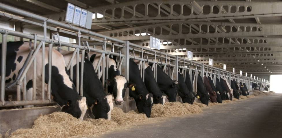 Vacas frisonas en una explotación de Lugo