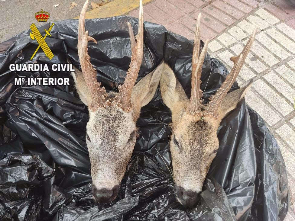 Denunciado en Azuqueca por transportar dos cabezas de corzo sin poder acreditar su procedencia
