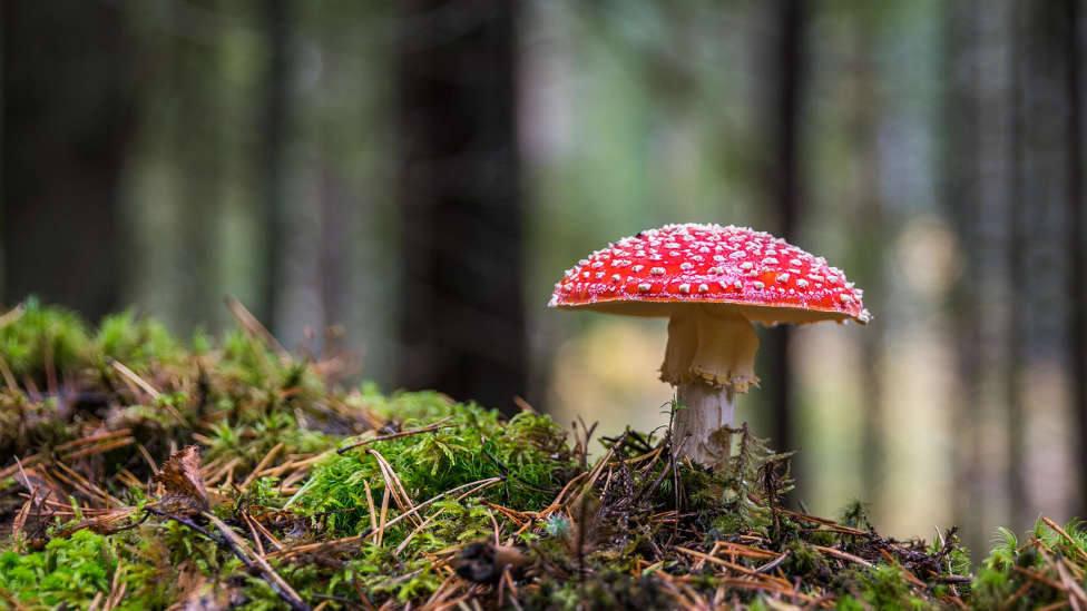 Imagen de archivo de una seta en un bosque