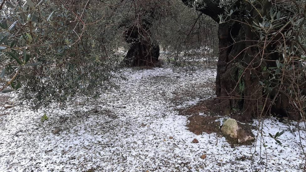 Campo de olivos afectado por el granizo