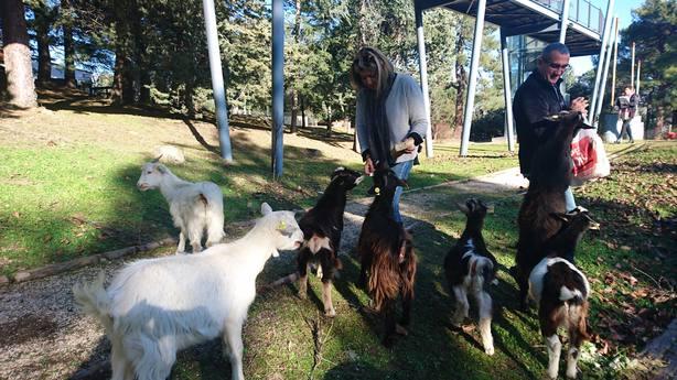 Las cabras desbrozan El Gurugú