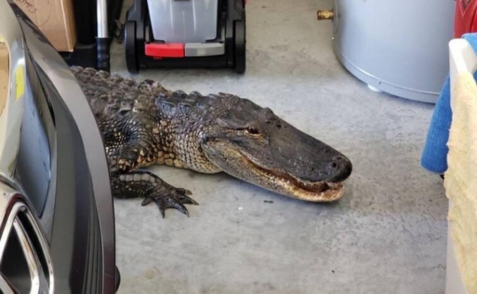 Un caimán da la sorpresa de su vida a un hombre mientras estaba en su garaje