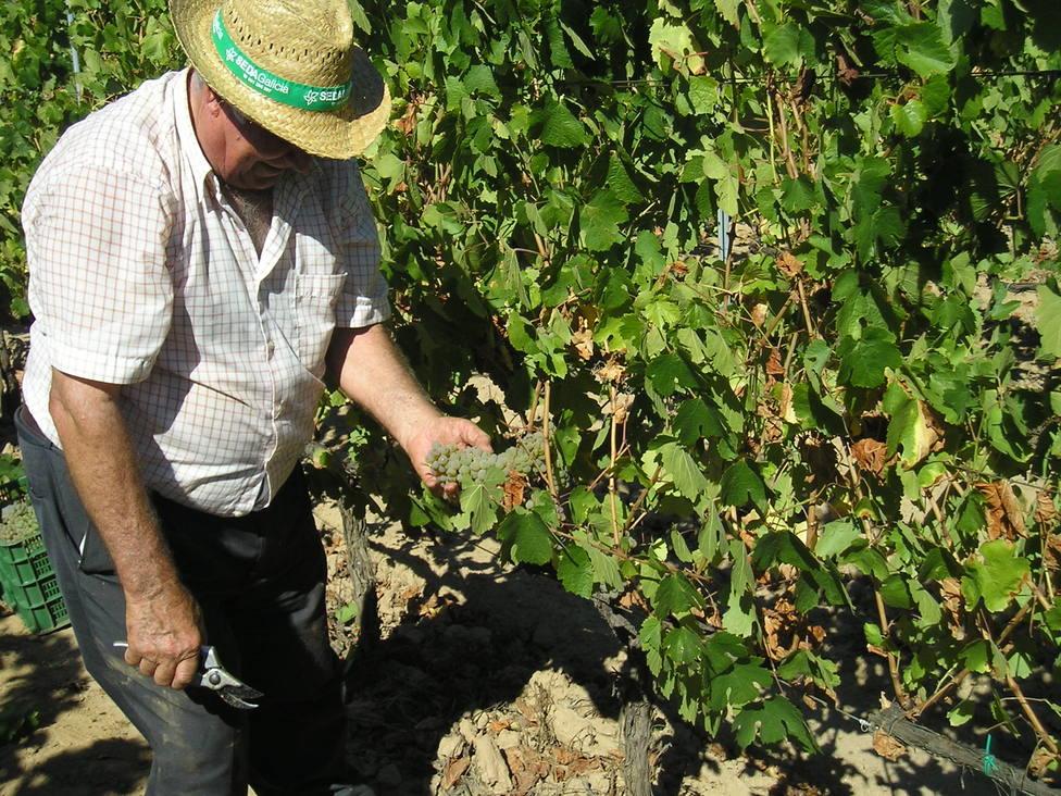 Un viticultor en los primeros días de la vendimia.