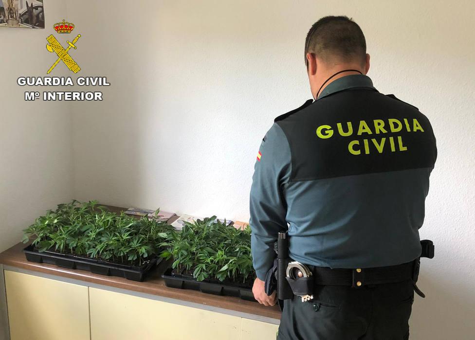 Sorprendido mientras transportaba doscientas ocho plantas de marihuana