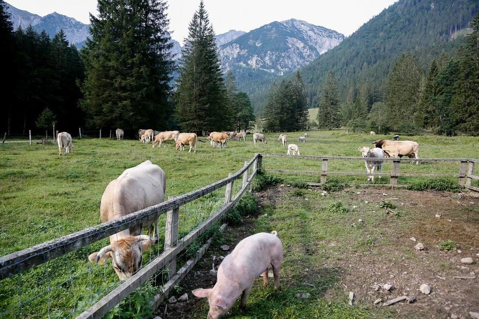 ctv-3eh-vacas-y-cerdos