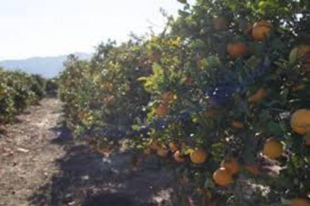Mala temporada citrícola en Castellón