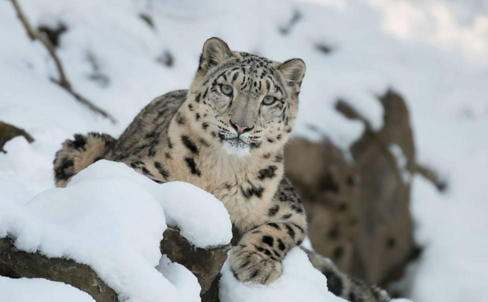 Microsoft ofrece su sistema de IA a Snow Leopard Trust para evitar la extinción del leopardo de las nieves