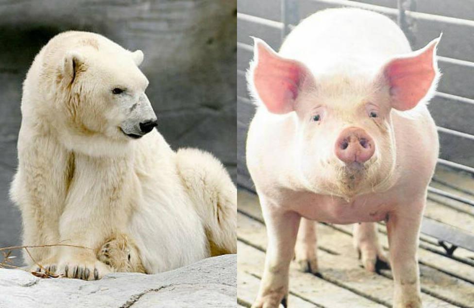 La inaudita solución china a la escasez de carne: criar cerdos gigantes del tamaño de osos polares