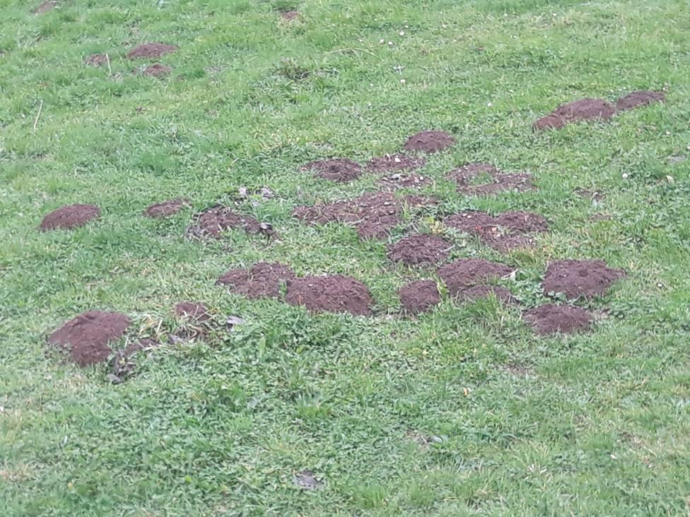 Efectos de la rata-topo en un prado de A Montaña de Lugo