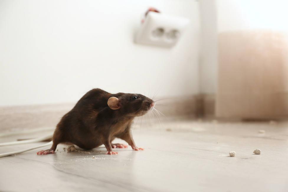 Plagas: Así conseguirás exterminar ratas, ratones y otros roedores en tu vivienda
