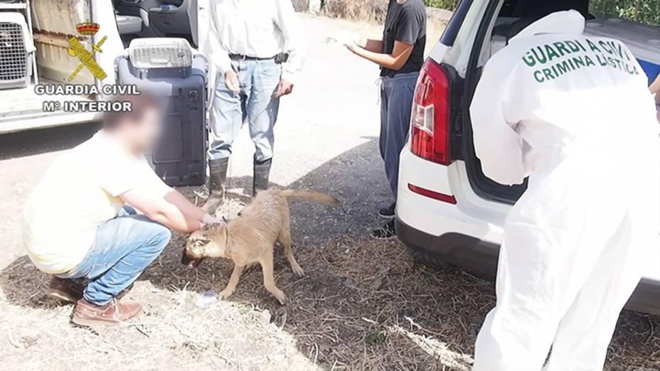 El SEPRONA de Guardia Civil detiene o investiga a cerca de 600 personas por delitos contra el maltrato animal