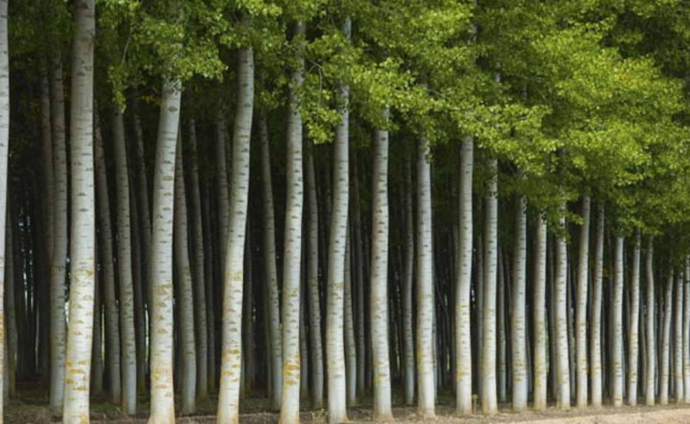 7 millones de € y 500 puestos de trabajo se perderán con la eliminación de plantación choperas en Palencia
