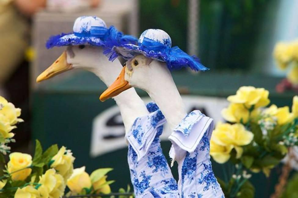 La pasarela de moda que no se pierden por nada en el mundo en Australia, y cuyos modelos son patos