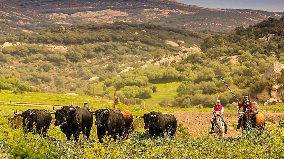 La Junta de Andalucía ayudará económicamente al sector ganadero de bravo de la región