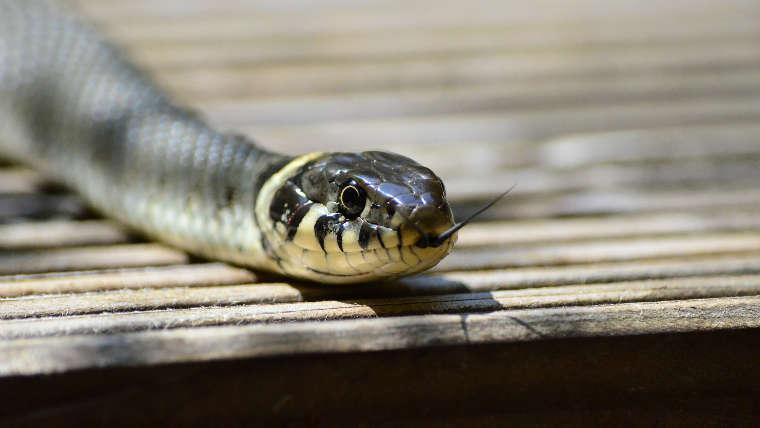 Serpiente Atacando De Frente