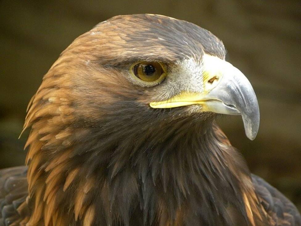 El primer nido de águila real en Lugo obliga a cambiar el trazado de una prueba deportiva