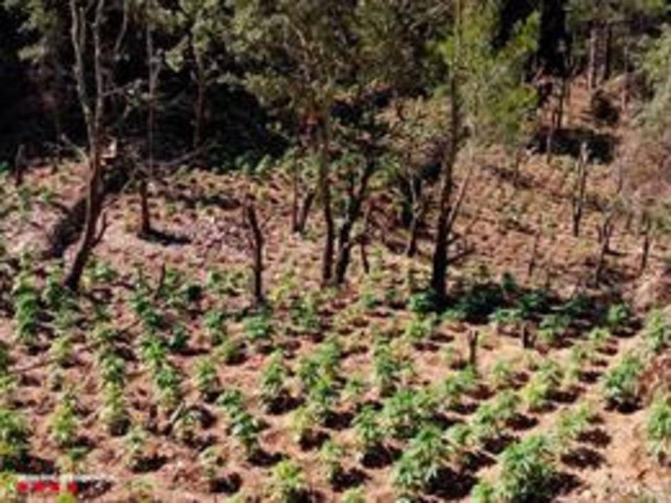 Desmantelado Un Cultivo Con 1 800 Plantas De Marihuana En El Bosque De Argentera Tarragona Barcelona Cope