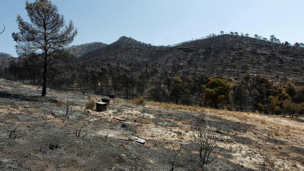 Pinares afectados por el incendio de Beneixama (Alicante)