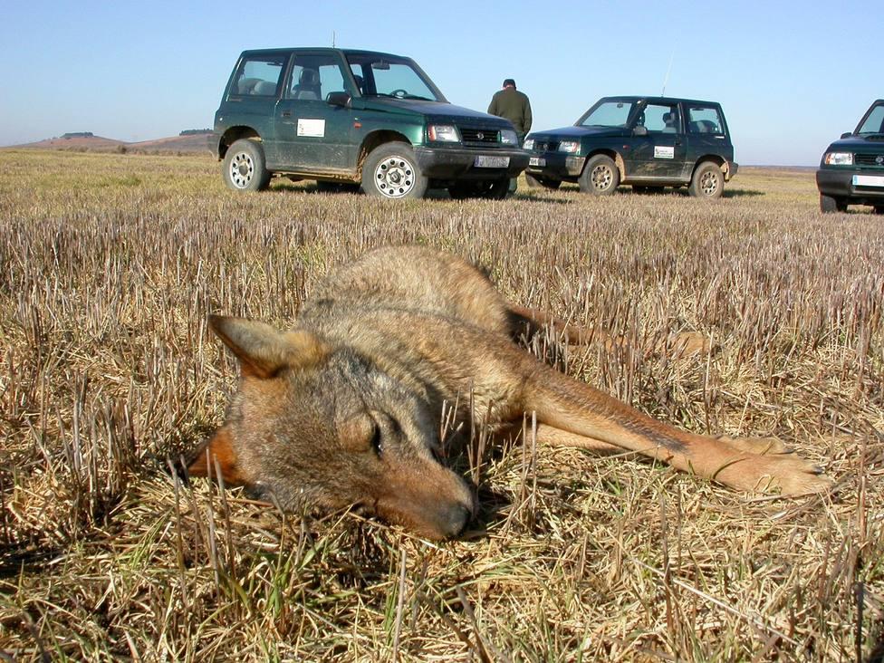 ¿Cuántos animales son envenenados cada año en el campo español?