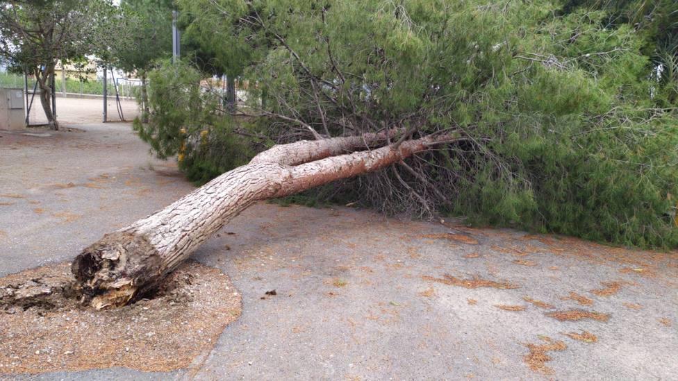 Árbol derribado por el viento en Cazalla