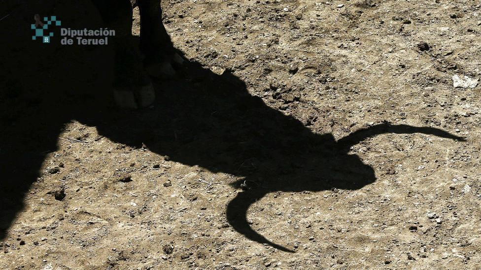 La Diputación de Teruel sale al rescate de la ganadería de bravo en la provincia