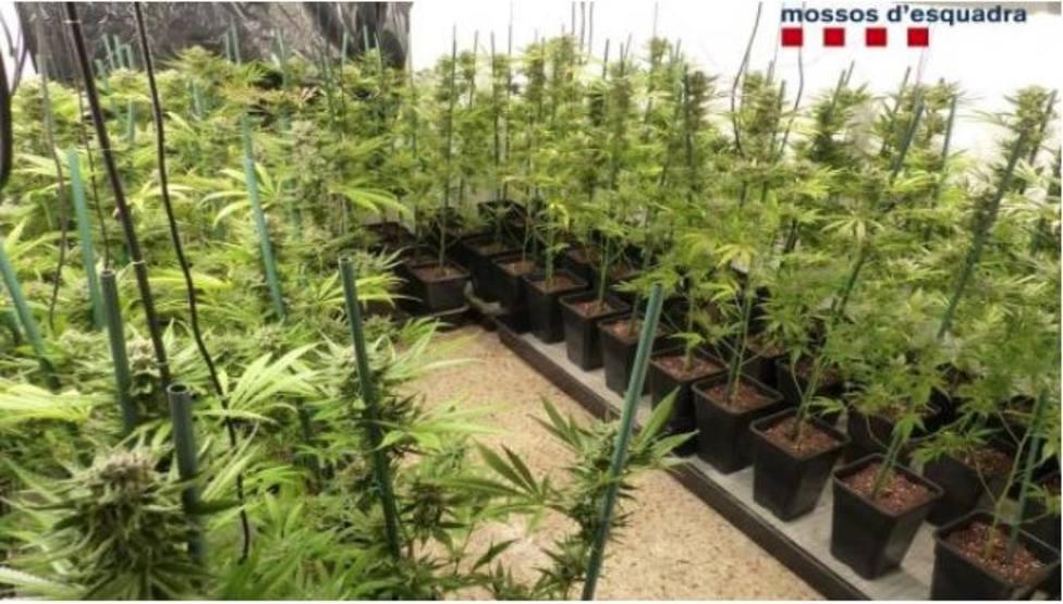 Imagen de las plantas que tenía en su domicilio el detenido. Foto: Mossos dEsquadra