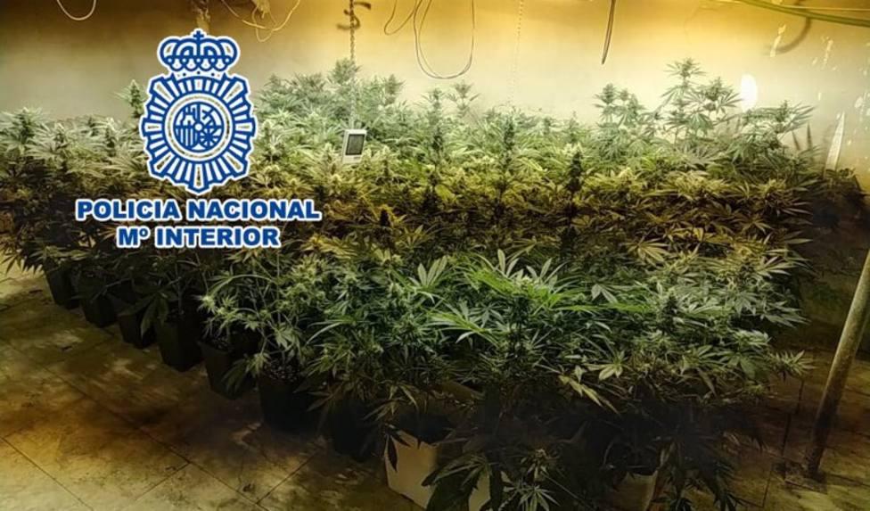 Alicante.- Sucesos.- Intervenidas más de 700 plantas de marihuana en dos operaciones con seis detenidos en Elche y Elda