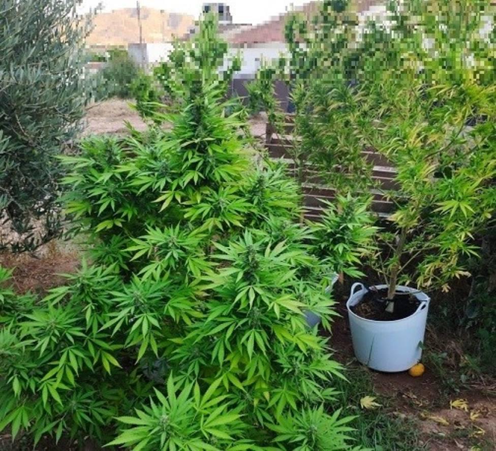 Policía Local localiza 4 plantas de marihuana cultivadas en un huerto colindante a una vivienda en La Campana