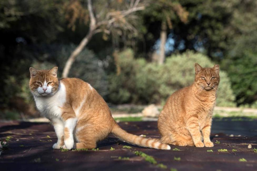 Una imagen de varios gatos silvestres