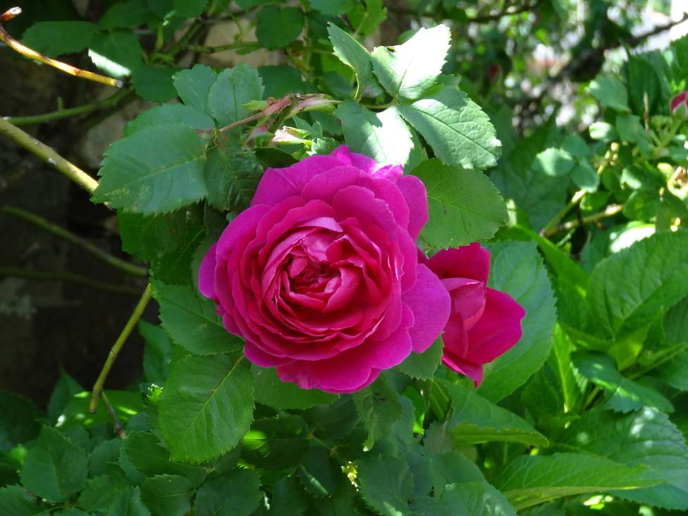 La Rosa Narcea, una antigua rosa española llamada a revolucionar la perfumería