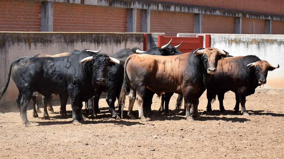 Nueve toros de Garcigrande ya han sido desembarcados y aprobados en la plaza de Alcalá de Henares
