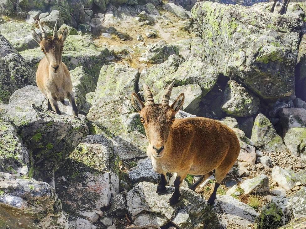 Ejemplares jóvenes de cabra montés en la Sierra de Guadarrama