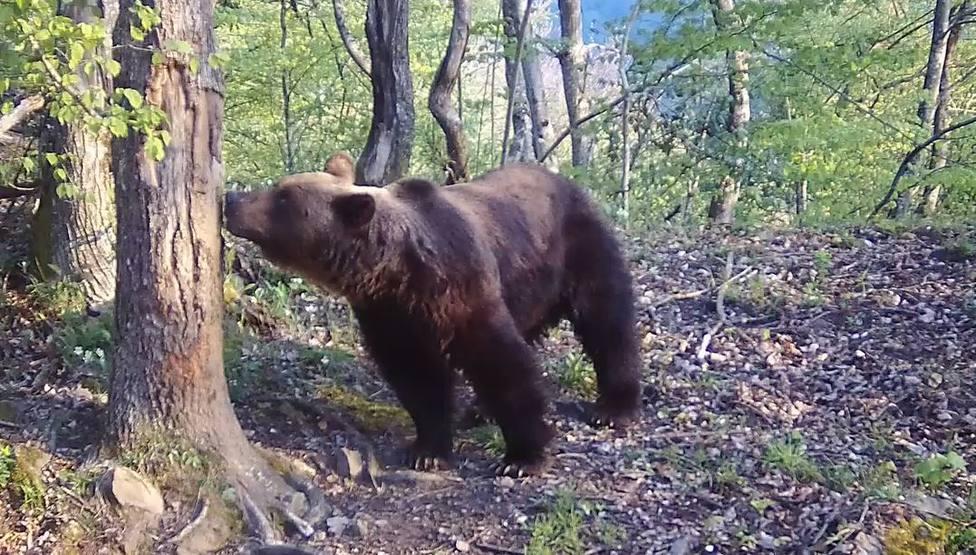 Foto Oso en el bosque (FAPAS)