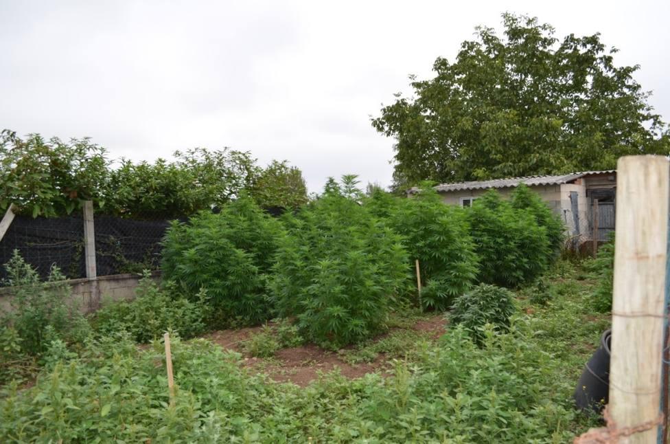 Plantación de marihuana en una vivienda particular