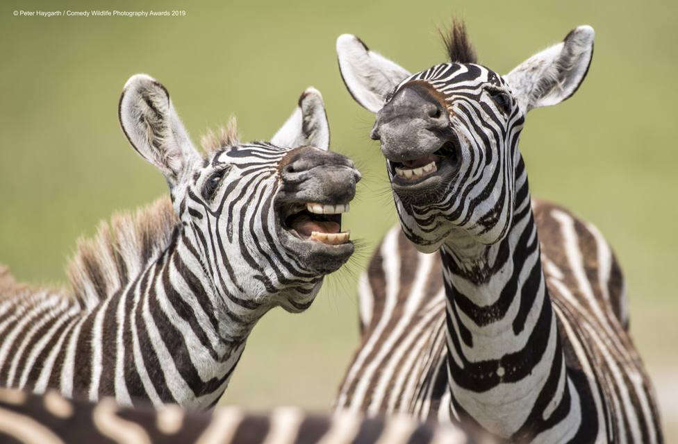 ctv-iwr-840905peter-haygarth-laughing-zebra-00003642jpg