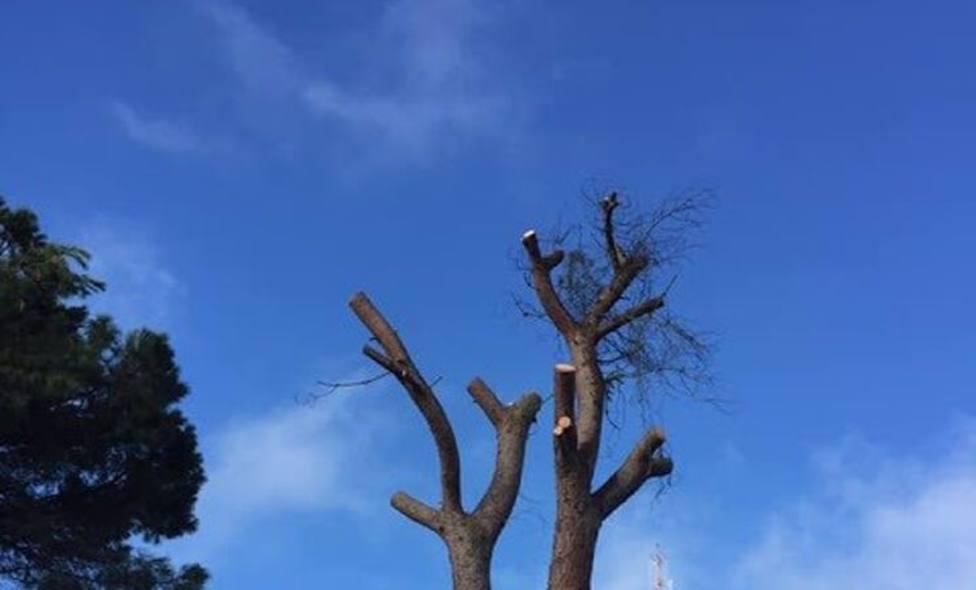 La tala de grandes pinos piñoneros en Badajoz, en el punto de mira de Ecologistas Extremadura