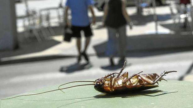 Detectan una cucaracha invasora en un edificio del centro de Madrid