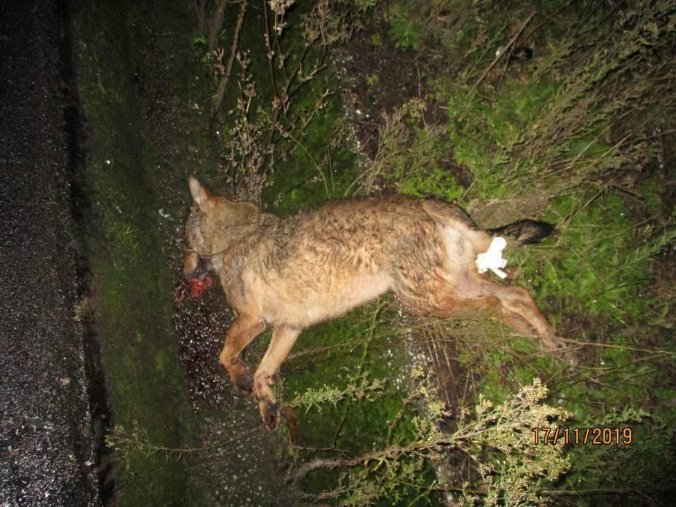 El atropello de un lobo en Cervo lleva a los animalistas pedir pasos de fauna silvestre
