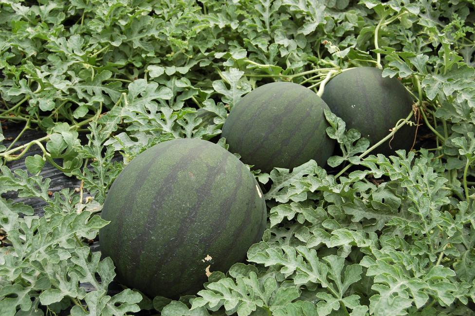Los productores almerienses protestan hoy por el hundimiento de precios de melón y sandia