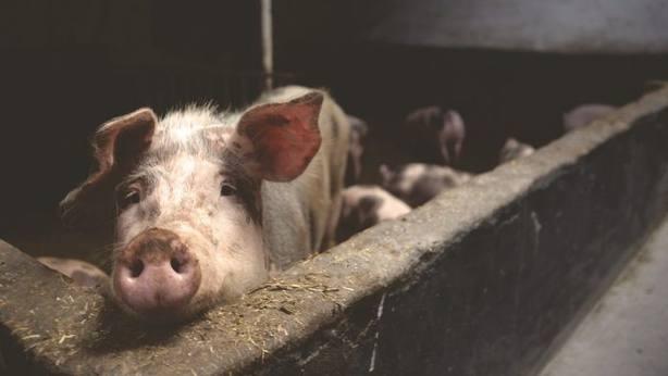La peste porcina africana llama a la puerta
