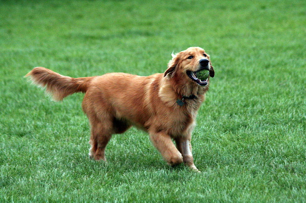ctv-cgp-1280px-golden retriever with tennis ball